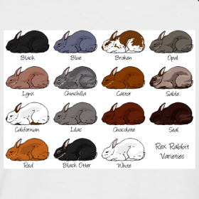 Design   Rex Rabbit ColoursBlack Mini Rex Rabbits