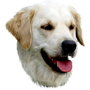 Golden Retriever - Labrador